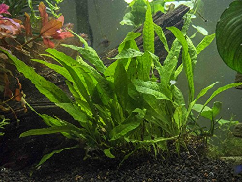 Easy Aquarium Plant Package 30 55 Gallon Heavily Plant