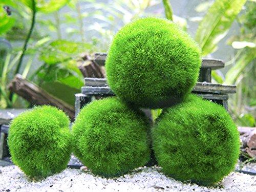 10-Marimo-Moss-Balls-Aquarium-Ball-Set-1-Inch-Each-Unique-Decor-for-Aquariums-and-Glass-Jar-Terrarium-Kits-Natural-Habitat-for-Live-Fish-Pet-Shrimp-Sea-Monkeys-and-more-by-Aquatic-Arts-0