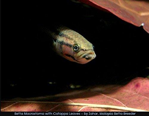 100-Pcs-Catappa-Ketapang-Indian-Almond-Leaf-for-Fish-Tank-0-1