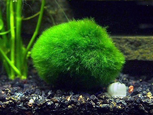 2-Giant-Marimo-Moss-Balls-15-25-inches-8-15-Years-Old-Over-5X-AS-Large-AS-Nano-MARIMO-Great-for-Fish-Shrimp-and-Snails-by-Aquatic-Arts-0