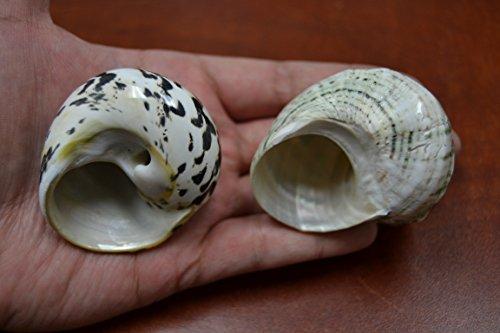 2-Pcs-Black-Cyprea-Pica-and-Green-Petholatus-Shell-Hermit-Crab-1-12-2-0-0
