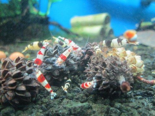 25-Red-Bee-Ball8MM-25-Mineral-Balls-10MM-10-Indian-Almond-Leaves-10-15cm-25-Alder-Cones-25-Filao-Cones-Shrimp-Water-Conditioner-Invertebrates-Aquarium-Betta-Fish-Tank-0-0