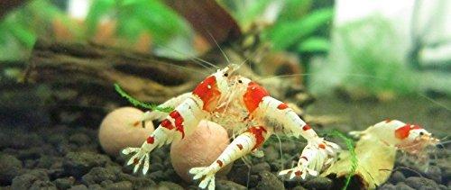 25-Red-Bee-Ball8MM-25-Mineral-Balls-10MM-10-Indian-Almond-Leaves-10-15cm-25-Alder-Cones-25-Filao-Cones-Shrimp-Water-Conditioner-Invertebrates-Aquarium-Betta-Fish-Tank-0-1