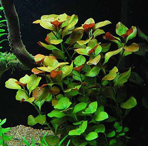 25-stems-6-species-Live-Aquarium-Plants-Package-Anacharis-Amazon-and-more-0-0