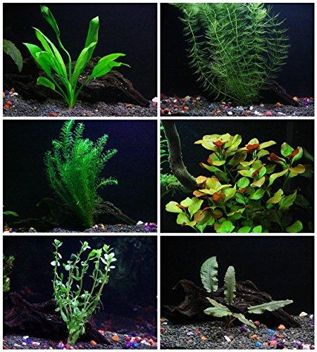 25-stems-6-species-Live-Aquarium-Plants-Package-Anacharis-Amazon-and-more-0