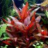 50-Live-Aquarium-Plants-17-Different-Kinds-Amazon-Swords-Anubias-Java-Fern-Java-Moss-Ludwigia-and-more-Great-plant-sampler-for-40-45-gal-tanks-0-2