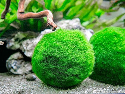 6-Marimo-Moss-Ball-Variety-Pack-4-Different-Sizes-of-Premium-Quality-Marimo-from-Giant-25-Inch-to-Small-1-Inch-Worlds-Easiest-Live-Aquarium-Plant-Sustainably-Harvested-and-All-Natural-0-2
