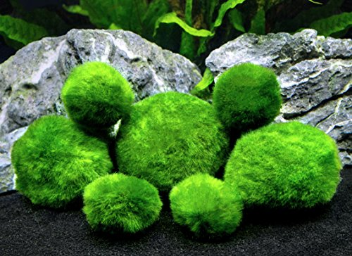 6-Marimo-Moss-Ball-Variety-Pack-4-Different-Sizes-of-Premium-Quality-Marimo-from-Giant-25-Inch-to-Small-1-Inch-Worlds-Easiest-Live-Aquarium-Plant-Sustainably-Harvested-and-All-Natural-0
