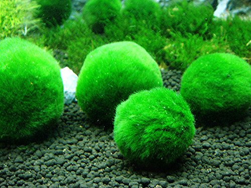 6pcs-Giant-Marimo-Moss-Balls-0612-Cladophora-aegagrophila-Live-Plant-Freshwater-Aquarium-0-0