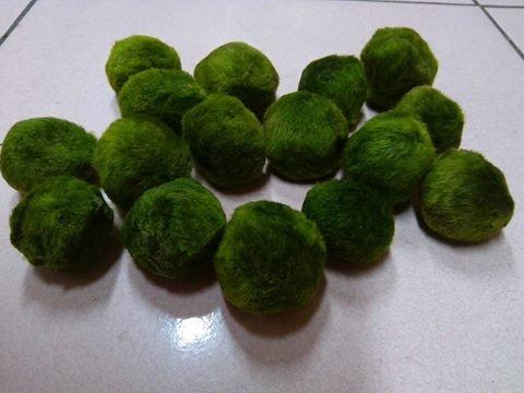 6pcs-Giant-Marimo-Moss-Balls-0612-Cladophora-aegagrophila-Live-Plant-Freshwater-Aquarium-0-1