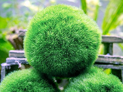 Aquatic-Arts-10-Giant-Marimo-Moss-Balls-2-to-25-8-15-Years-Old-Great-for-Live-Fish-Shrimp-and-Snails-0-0
