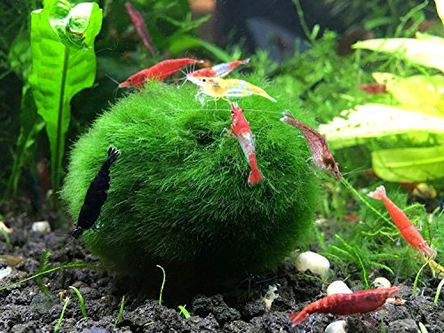 Aquatic-Arts-10-Giant-Marimo-Moss-Balls-2-to-25-8-15-Years-Old-Great-for-Live-Fish-Shrimp-and-Snails-0-2