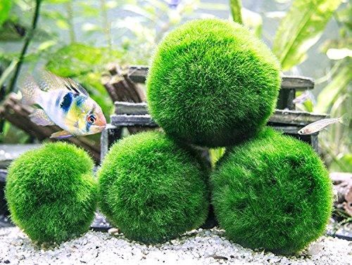 Aquatic-Arts-3-Betta-Fish-Balls-Live-Marimo-Aquarium-Plants-for-Fish-Tanks-Natural-Toy-Accessories-for-Betta-Fish-Green-X-Large-0-2