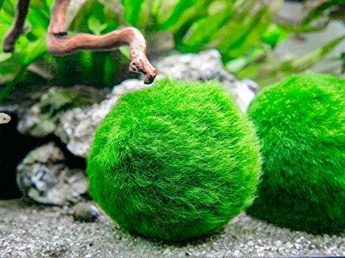 Aquatic-Arts-3-Betta-Fish-Balls-Live-Marimo-Aquarium-Plants-for-Fish-Tanks-Natural-Toy-Accessories-for-Betta-Fish-Green-X-Large-0
