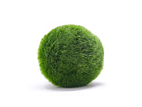 Aquatic-Arts-3-Nano-Marimo-Moss-Balls-Very-Real-Marimo-1-Inch-Diameter-0