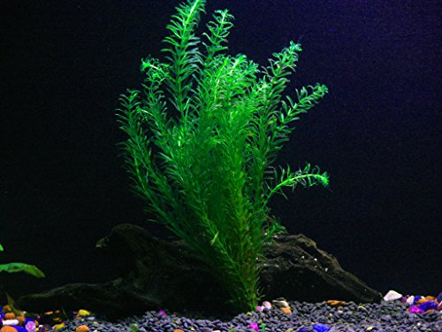 Easy-Live-Aquarium-Plants-Package-Various-Kinds-Anacharis-Amazon-and-more-0-0