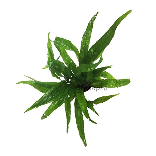 Greenpro-Microsorum-Pteropus-Hardy-Leaf-Black-Forest-Asian-Java-Fern-Potted-Live-Water-Aquatic-Aquarium-Plants-for-Freshwater-Fish-Tank-0-1