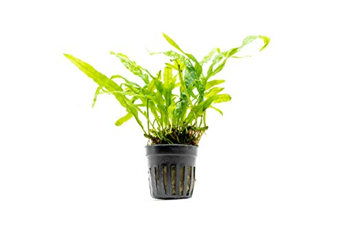 SubstrateSource-Java-Fern-Trident-Microsorum-pteropus-Live-Aquarium-Plant-0