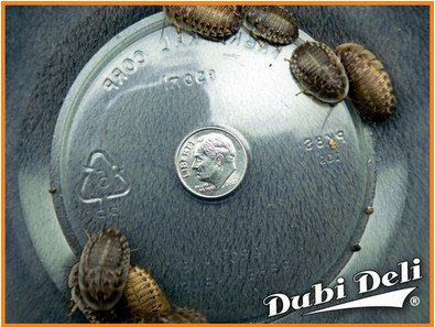 Dubia-Roaches-Large-1-37-Grams-Average-Count-50-0