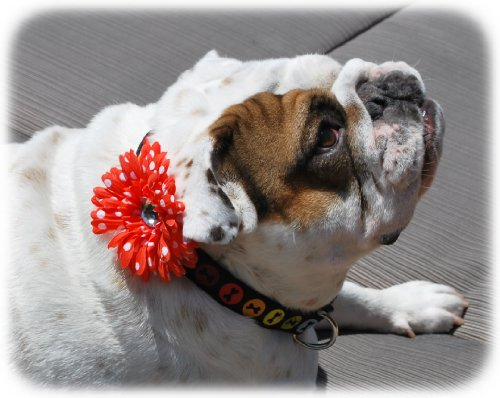 Squishy-Pet-Products-Sprinkles-Collar-Accessories-My-Pretty-Coral-Dot-4-Inch-CoralWhite-Dot-Gerber-Daisy-0-0